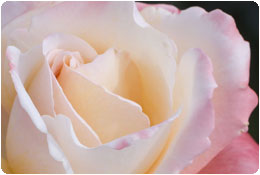 rose maison gaudin